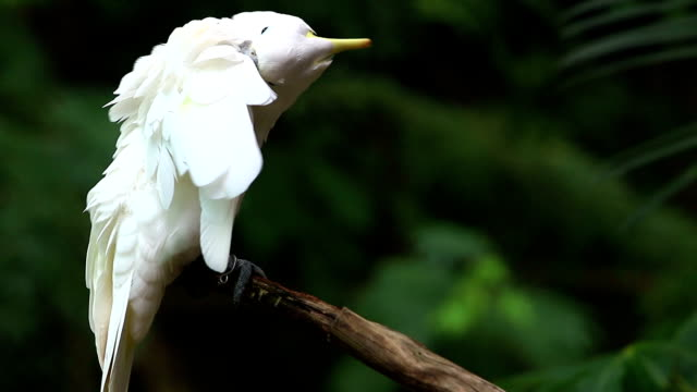 beautiful white parrot - showing off stock videos & royalty-free footage