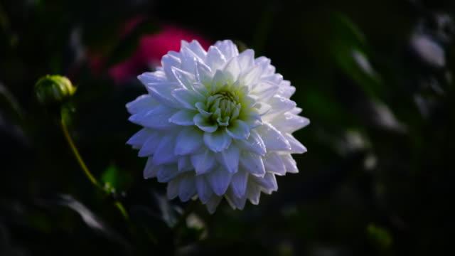 Prachtige witte pioen bloemen in de zomertuin