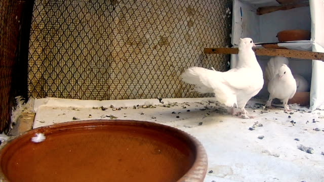 beautiful white pigeon - karachi stock videos and b-roll footage