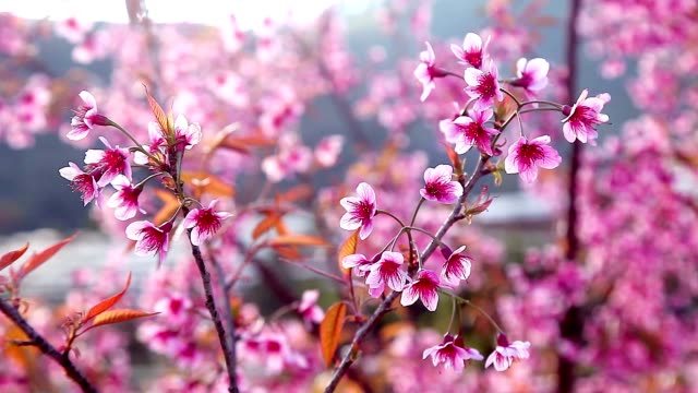 beautiful wild himalayan cherry blooming tree (prunus cerasoides) or thai cherry blooming at chiangmai, thailand - chiang mai province stock videos & royalty-free footage