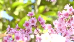 Beautiful Wild Himalayan Cherry blossom, Thai Sakura flower.