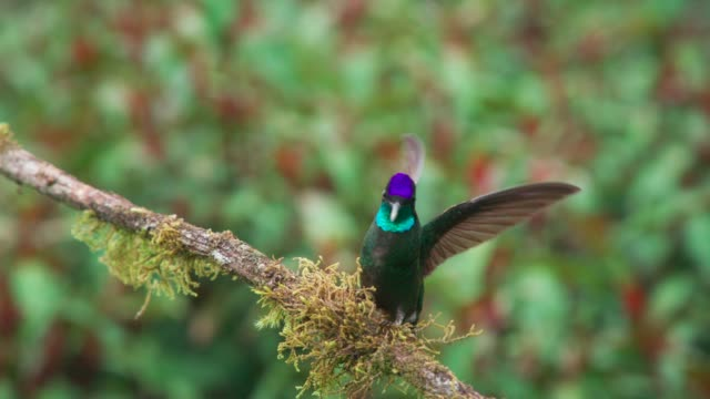 beautiful wild hummingbird - costa rica stock videos & royalty-free footage
