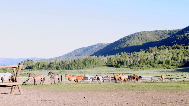 Beautiful wild mustangs being driven into corral by ranchers