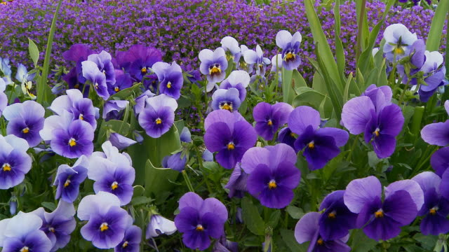 hd dolly: beautiful wild pansies - flower stock videos & royalty-free footage