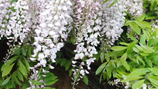 beautiful wisteria flowers - creeper stock videos and b-roll footage