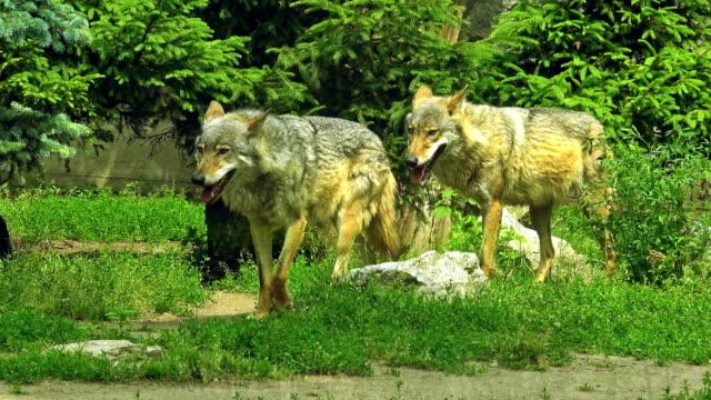 Mooie wolf