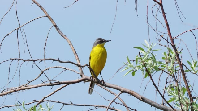 beautiful yellow bird perching on the twig against blue sky. black headed wagtail (motacilla feldegg) - twig stock videos & royalty-free footage