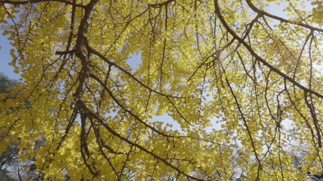 vídeos y material grabado en eventos de stock de beautiful yellow ginkgo leaves dolly shot - tope de los árboles
