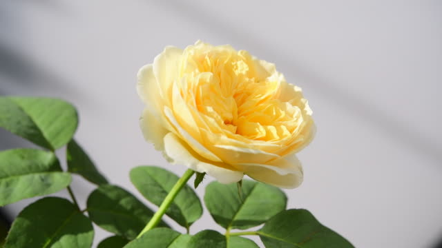beautiful yellow rose in garden with morning light and shadow. - composizione di fiori video stock e b–roll