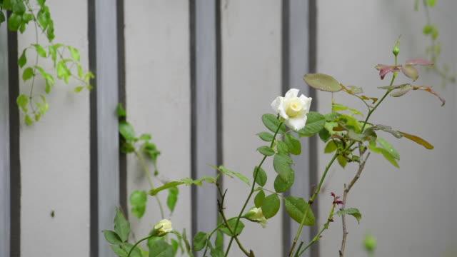 beautiful yellow rose outdoor garden in morning - bush stock videos & royalty-free footage