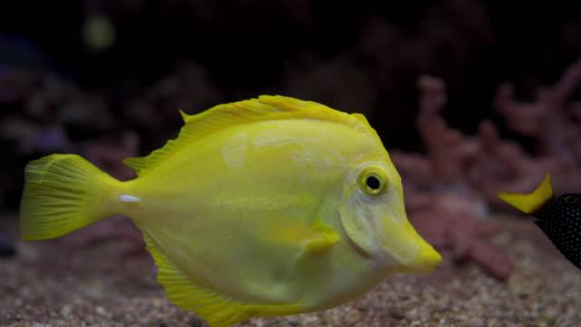 schöne gelbe tangfische im aquarium - mariner lebensraum stock-videos und b-roll-filmmaterial