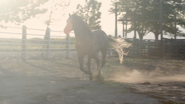 a beautiful young and healthy stud quarter horse stallion running freely in an arena on a pastoral thoroughbred horse ranch in the wild west western colorado - stallion stock videos & royalty-free footage