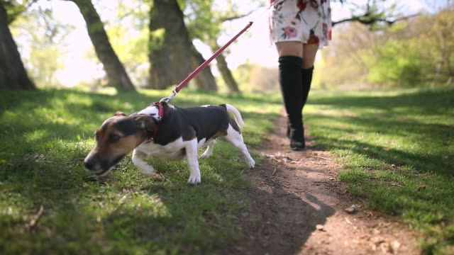 vídeos de stock e filmes b-roll de beautiful young woman walking in public park with her jack russell terrier on sunny day - trela de animal de estimação