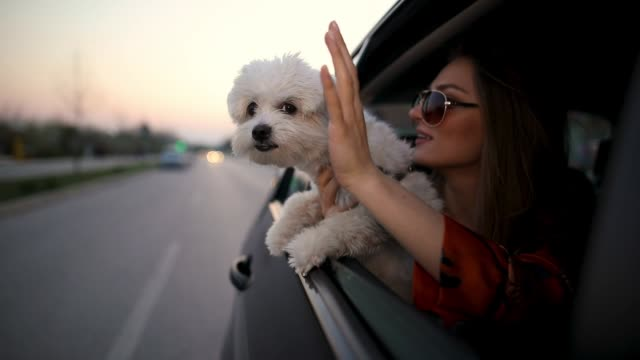beautiful young woman with sunglasses sitting on backseat of car with maltese dog in hands - greeting stock videos & royalty-free footage
