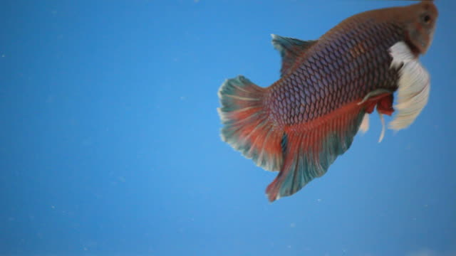 beauty betta. - pampered pets stock videos and b-roll footage
