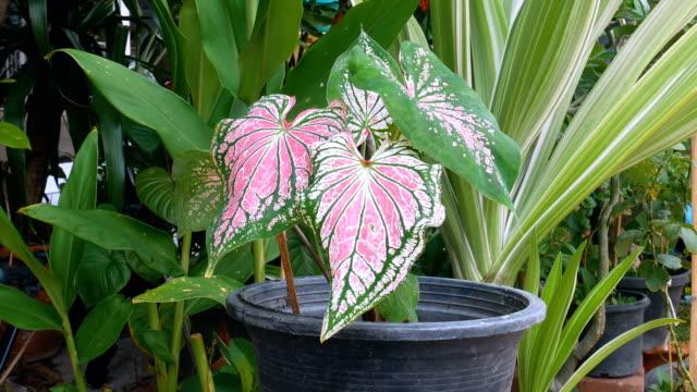 stockvideo's en b-roll-footage met schoonheid caladium plant. - kamerplant