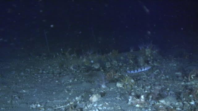 underwater, beauty goby at sea bottom, miyagi, japan - undersea video stock e b–roll