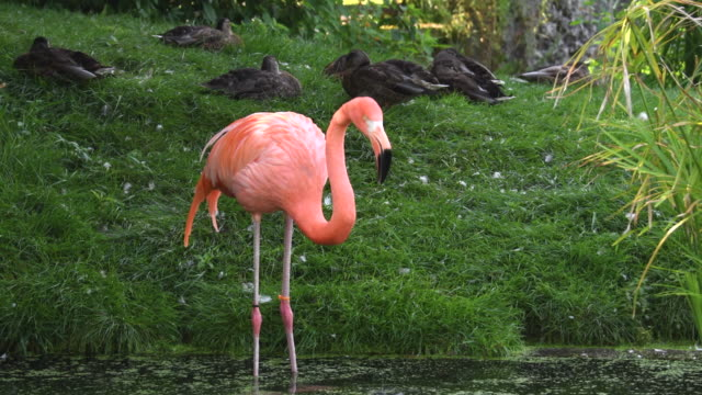 beauty in nature, pink flamingo bird in a pond during summer season - flamingo stock-videos und b-roll-filmmaterial