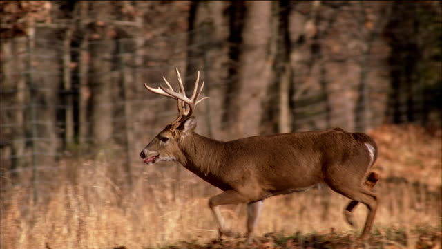 beauty shot trophy deer with large antler rack stands in a forest clearing. - antler stock videos & royalty-free footage