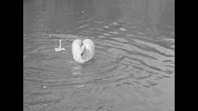 beauty shots of a bucolic scene of swans in the water; one on its nest / a smaller swan is attacked by a larger swan that holds its head under the... - 白鳥の子点の映像素材/bロール