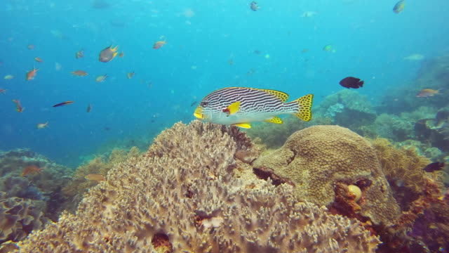 beauty that stands out around a million other species - sweetlips stock videos & royalty-free footage