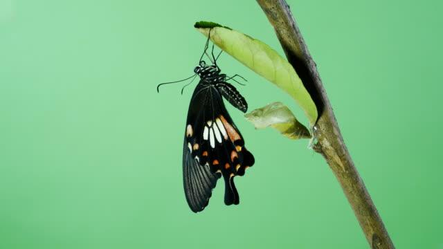 beautyful butterfly green screen - insetto video stock e b–roll