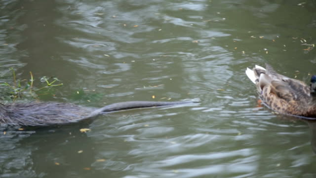 Beaver and Duck in the water