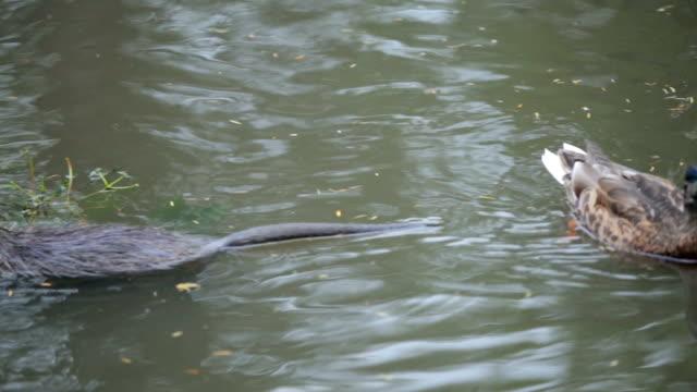 vídeos y material grabado en eventos de stock de castor y pato en el agua - castor