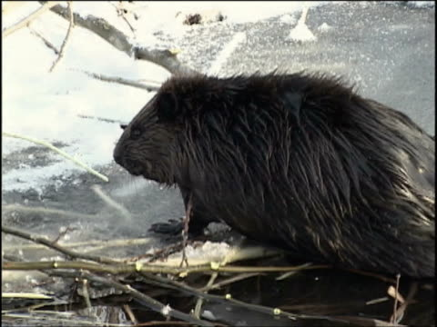 MS, Beaver at edge of ice, Algonquin Provincial Park, Ontario, Canada