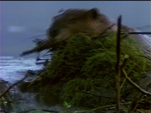 stockvideo's en b-roll-footage met a beaver brings sticks to its dam. - dam mens gemaakte bouwwerken