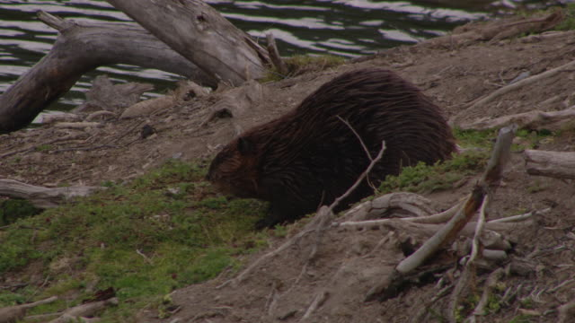 vídeos de stock e filmes b-roll de a beaver builds its den on an islet in a pond. - castor roedor