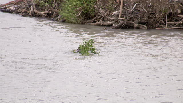 a beaver carries a leafy branch to its dam. - beaver dam stock videos and b-roll footage