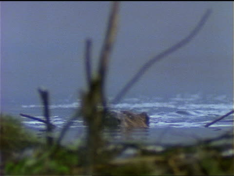 a beaver carries sticks to its dam. - beaver building dam stock videos and b-roll footage