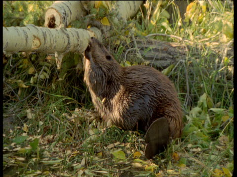 beaver chews fallen log, montana - beaver stock videos & royalty-free footage