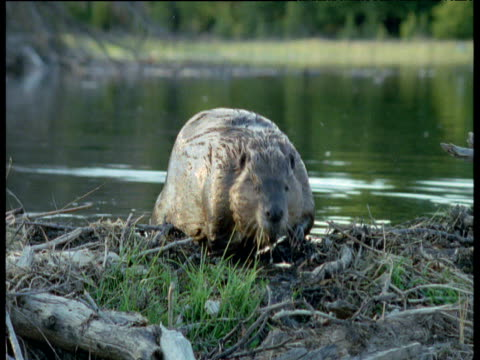 beaver clambers out onto dam then dives back into water, usa - recreational pursuit stock videos & royalty-free footage