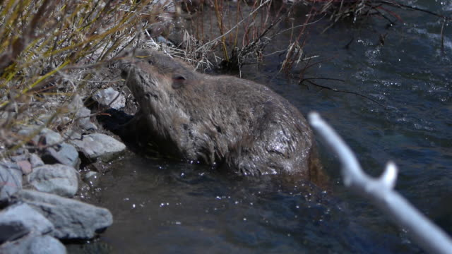 vídeos de stock e filmes b-roll de beaver climbing out of water - castor roedor