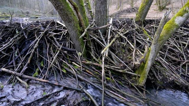 vídeos y material grabado en eventos de stock de beaver dam from european beaver, castor fiber, spessart, bavaria, germany, europe - beaver dam