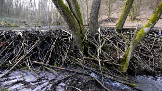 beaver dam from european beaver, castor fiber, spessart, bavaria, germany, europe - beaver dam stock videos and b-roll footage