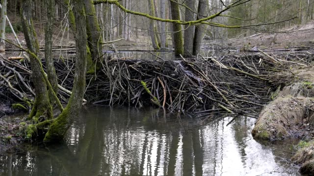beaver dam from european beaver, castor fiber, spessart, bavaria, germany, europe - biber stock-videos und b-roll-filmmaterial