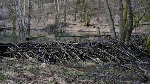 beaver dam from european beaver, castor fiber, spessart, bavaria, germany, europe - beaver dam stock videos and b-roll footage