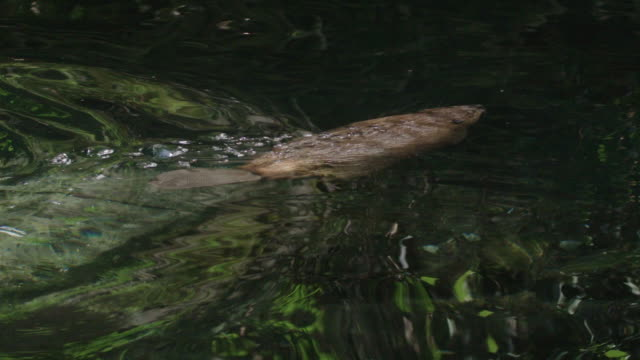 Beaver dives and swims in pond