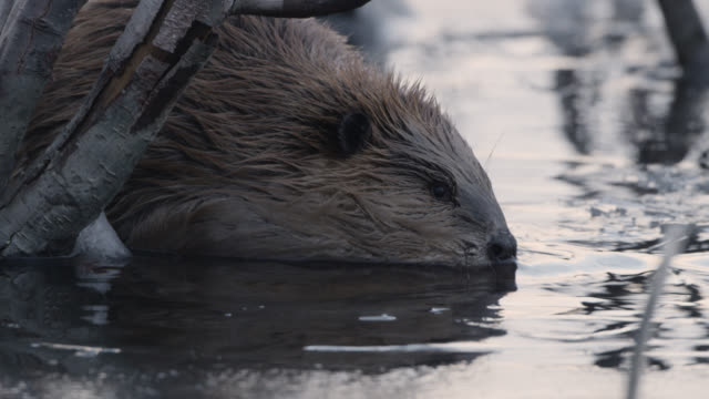 beaver (castor canadensis) dives under ice, wyoming, usa - beaver stock videos & royalty-free footage
