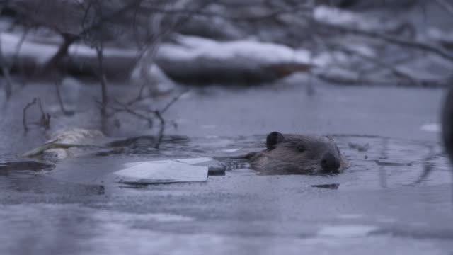 beaver (castor canadensis) dives under ice, wyoming, usa - biber stock-videos und b-roll-filmmaterial