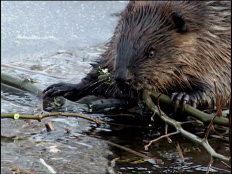 cu, beaver eating poplar branch at edge of ice, algonquin provincial park, ontario, canada - biber stock-videos und b-roll-filmmaterial