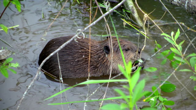 beaver eats and reaches out for more - beaver stock videos & royalty-free footage