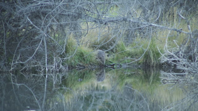 a beaver enters the snake river near swarbacker landing in grand teton national park. - grand teton national park stock videos & royalty-free footage
