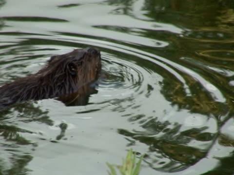 Beaver, feeding, preservation, captivity, reintroduction