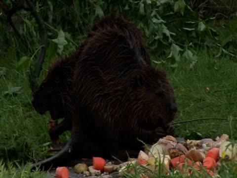 beaver feeding, preservation, reintroduction - southport england stock-videos und b-roll-filmmaterial