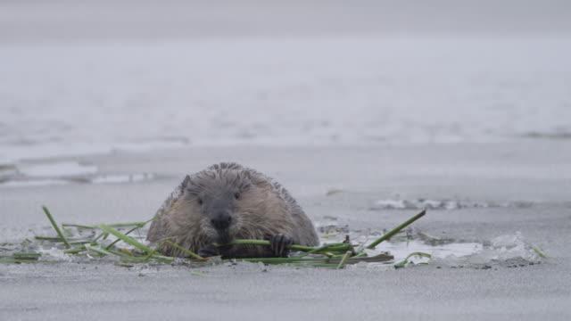 vidéos et rushes de beaver (castor canadensis) feeds in icy pond, wyoming, usa - castor rongeur