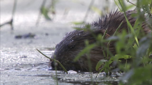 stockvideo's en b-roll-footage met a beaver forages near a grassy bank. - bever